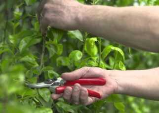 Summer-Tree-Pruning